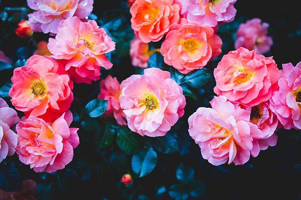 geranios flor balcón